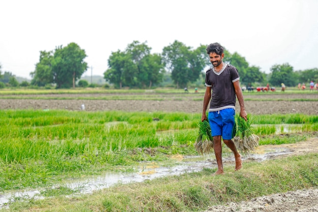Indische arbeit, die auf dem reisgebiet arbeitet