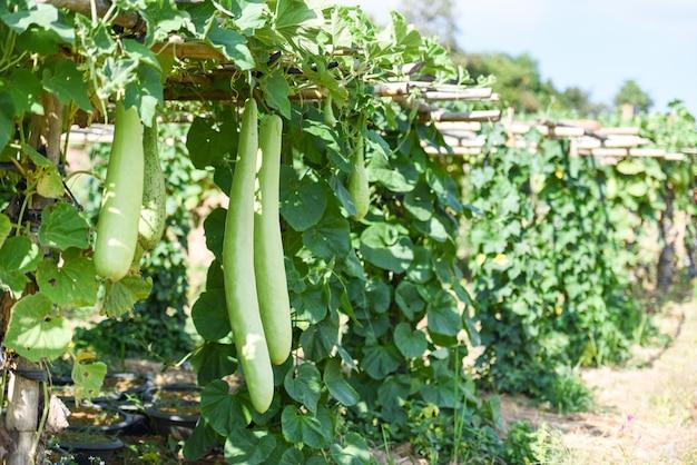 Indische gemüse lange winter melone kürbisflasche. kalebassenkürbis oder flaschenkürbis hängen am weinpflanzenbaum im garten