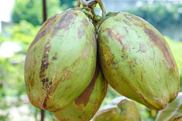 Indische grüne kokosnussbündel oder -gruppe