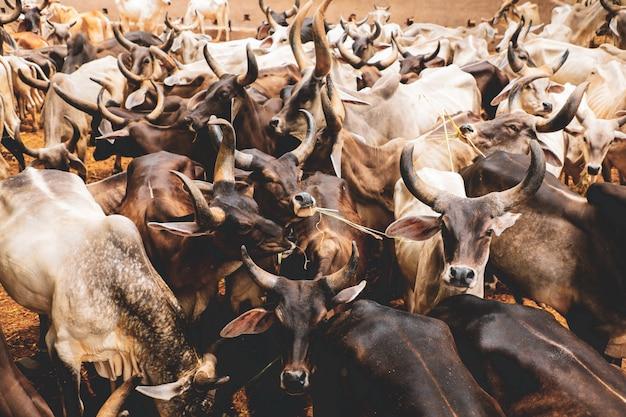 Indische milchwirtschaft, indisches vieh