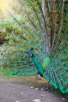 Indische pfau (pavo cristatus) pfau