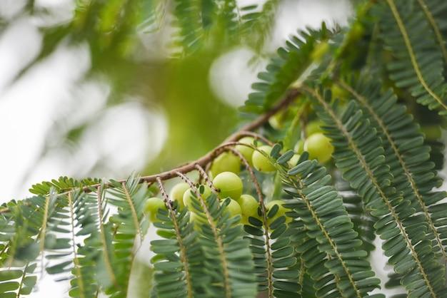 Indische stachelbeeren oder amla-frucht auf baum mit traditionellem inder grünen blatt phyllanthus emblica