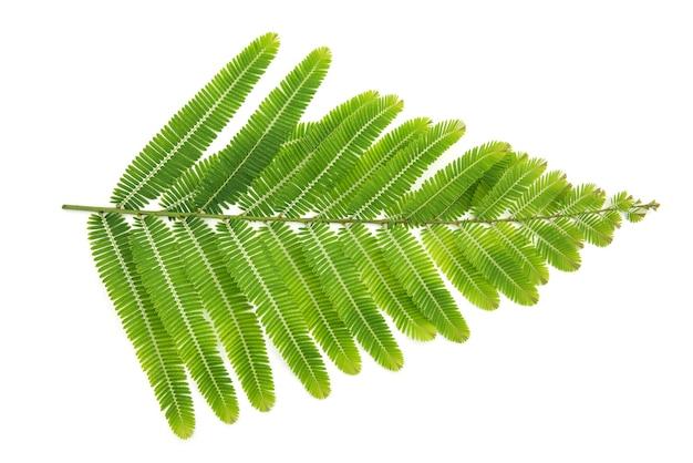 Indische stachelbeerzweig grüne blätter isoliert auf weißem hintergrund. ansicht von oben, flach.