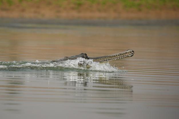 Indischer gavial im naturlebensraum chambal river sanctuary