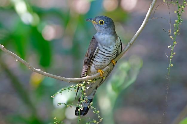 Indischer kuckuck cuculus micropterus schöne vögel von thailand