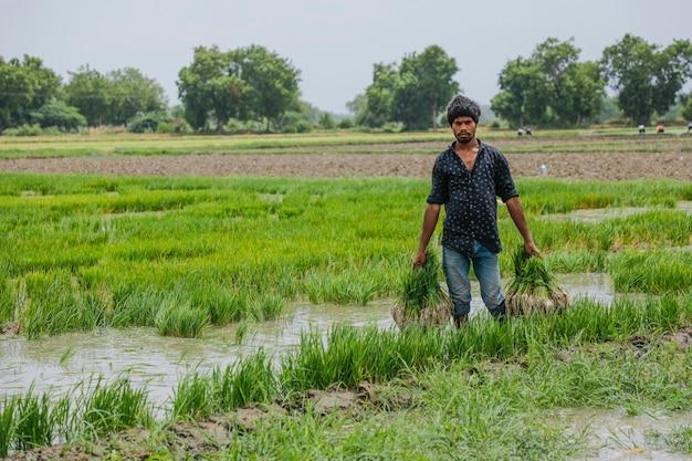 Indischer landwirt, der auf dem reisgebiet arbeitet
