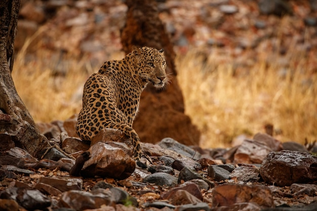 Indischer leopard im naturlebensraum leopard ruht auf dem felsen wildlife-szene