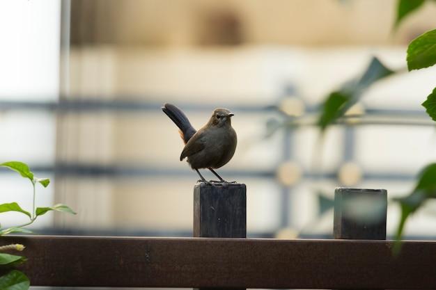 Indischer rotkehlchenvogel, der auf einer stange sitzt