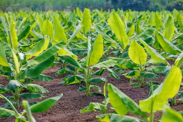 Indisches bananenfeld