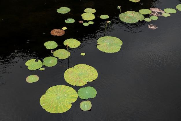 Indisches lotosblatt auf dem teich gefüllt, grüner natürlicher hintergrund.