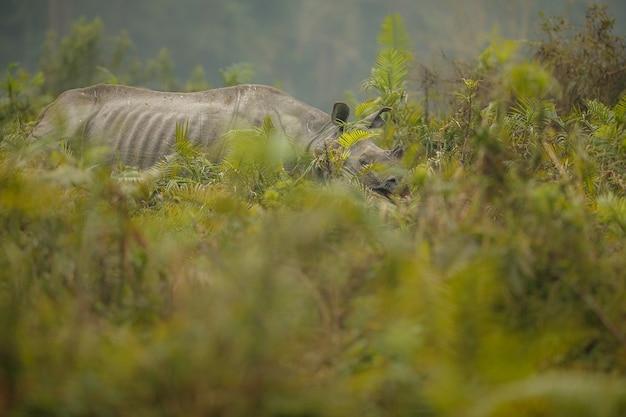 Indisches nashorn in asien indisches nashorn oder ein gehörntes nashorn mit grünem gras