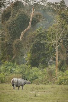 Indisches nashorn in asien indisches nashorn oder ein gehörntes nashorn mit grünem gras Kostenlose Fotos