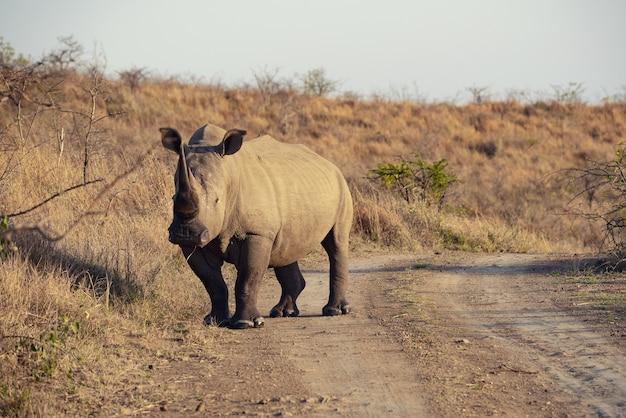 Indisches nashorn in südafrika