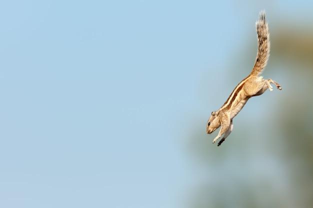 Indisches palmenhörnchen, das mit super geschwindigkeit nach unten springt