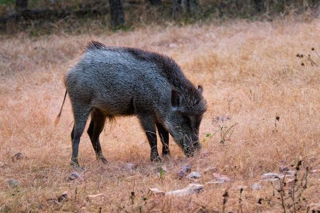 Indisches wildschwein, das im ranthambore-nationalpark, rajasthan, indien weidet
