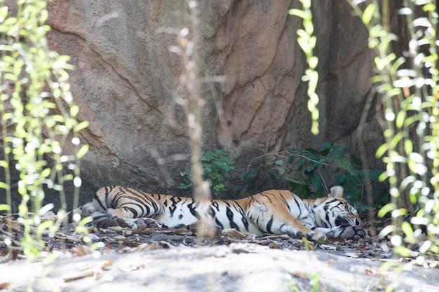 Indochinesischer tiger (panthera tigris corbetti).