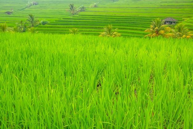 Indonesien. terrassen von reisfeldern mit einem jungen ferkel. hütten und palmen