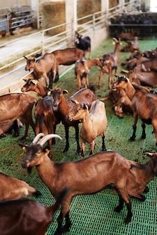 Indoor-farm mit vielen braunen ziegen hinter einem zaun