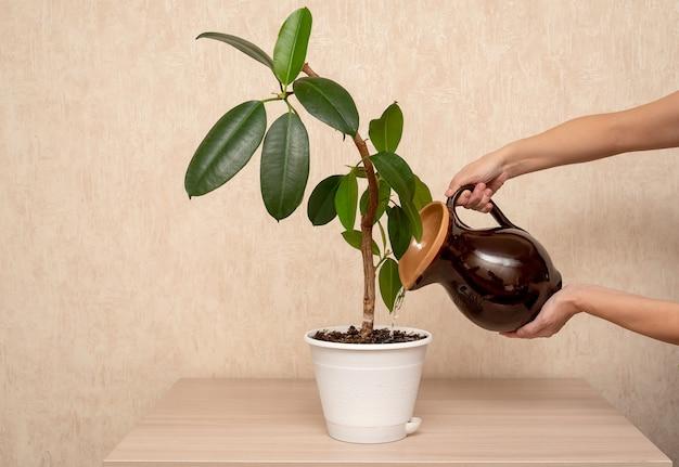 Indoor grüne pflanze in einem topf steht auf dem tisch zu hause.