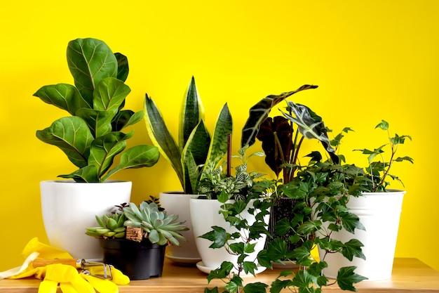 Indoor-hausgartenpflanzen. sammlung verschiedener blumen - schlangenpflanze, sukkulenten, ficus pumila, lyrata, hedera helix, alocasia sanderiana. stilvolle botanikzusammensetzung des gelben innenhintergrundes.