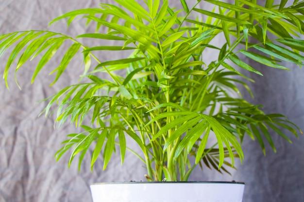 Indoor-palme, chrysalidocarpus lutescens areca-pflanzen, heimluftpflanzen auf grauem hintergrund