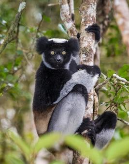 Indri sitzt auf einem baum. madagaskar. mantadia nationalpark.