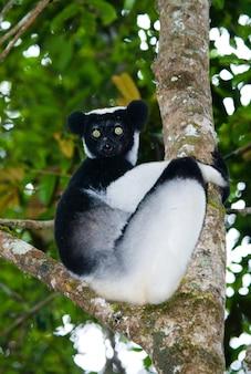 Indri sitzt im regen auf einem baum. madagaskar. mantadia nationalpark.