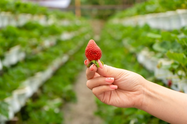 Industriebetrieb für den anbau von erdbeeren. reife rote früchte in der hand vor dem hintergrund der beete im gewächshaus.