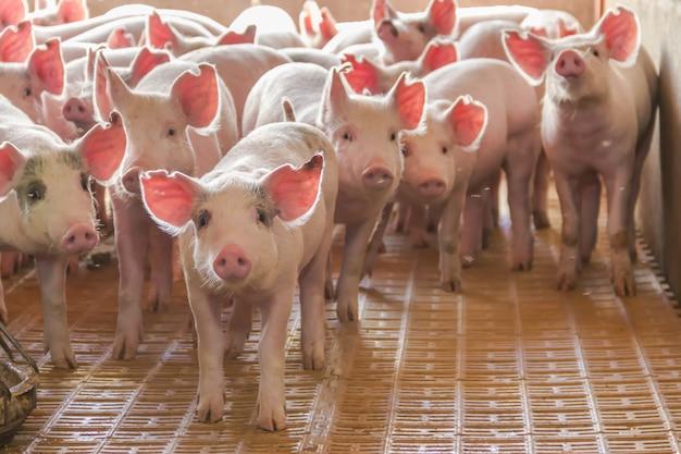 Industrieschweine brüterei, um sein fleisch zu verbrauchen