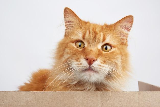 Ingwer-katze, die in einem braunen pappkarton auf einem weißen sitzt