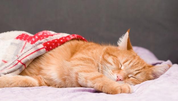 Ingwer katze süß schlafen unter der decke