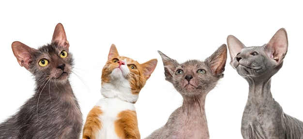 Ingwer-mischlingskatze, lykoi-katze, kätzchen lykoi-katze und peterbald-kätzchen