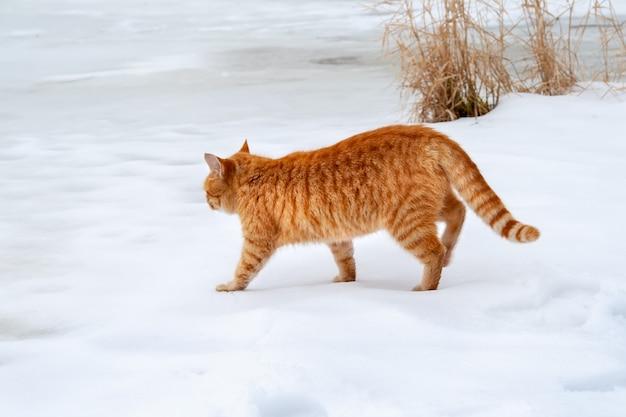 Ingwer-tabby-katze, die auf dem schnee in der nähe des gefrorenen flusses geht