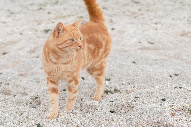 Ingwerkatze am strand. obdachlose katze geht auf dem sand.