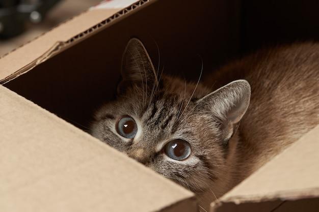 Inländische tabbykatze, die an papierbox versteckt. häusliches verspieltes haustier