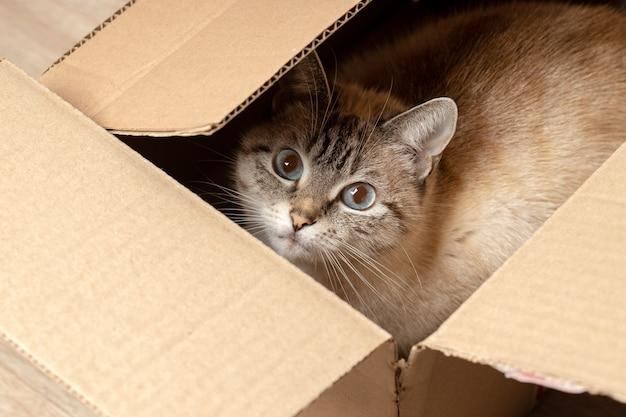 Inländische tabbykatze, die an papierbox versteckt. haustier