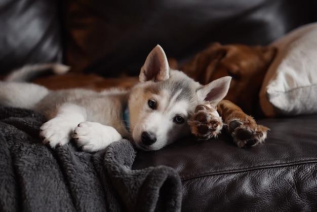 Inländischer niedlicher tschechoslowakischer husky-welpe, der mit einem erwachsenen golden retriever auf einer couch liegt