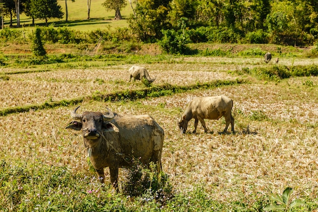 Inländischer wasserbüffel steht auf einem reisfeld und schaut in die kamera, laos