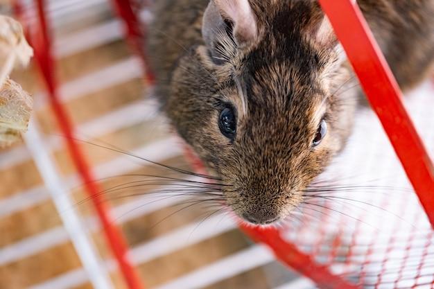 Inländisches eichhörnchen degu im rad