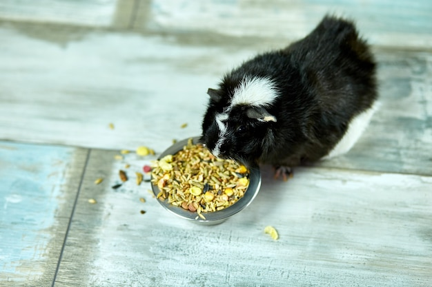 Inländisches meerschweinchen, das trockenes getreidefutter von der metallschale zu hause isst
