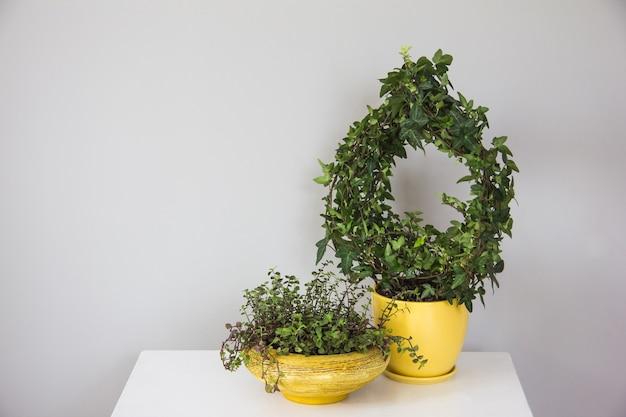 Innenblumen auf gelben pflanzgefäßen stehen auf einem weißen tisch gegen eine graue wand, wohnraum und komfort