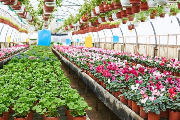 Innenraum eines industriellen gewächshauses, in dem zimmerblumen und ampelpflanzen angebaut werden