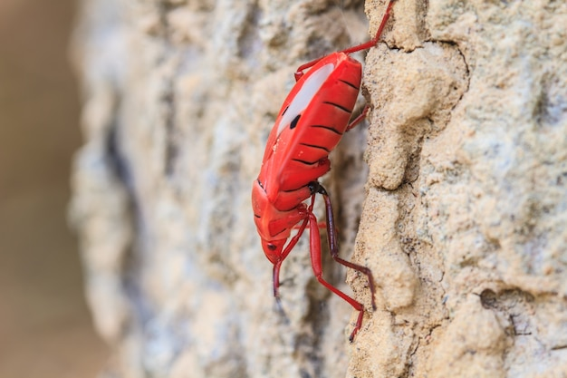 Insekt auf baum in der sycanus-gattung