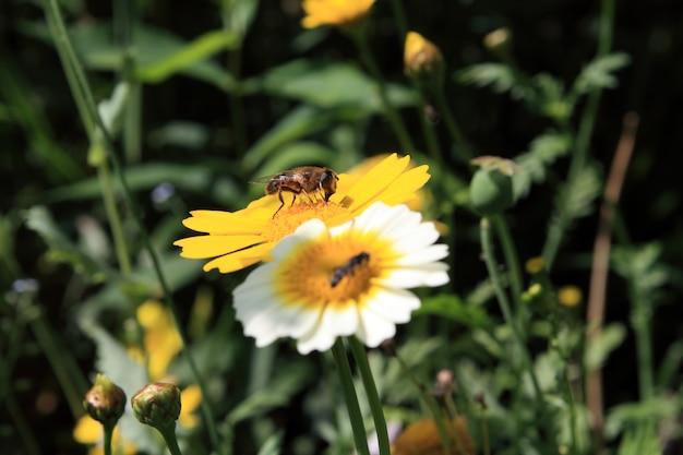 Insekt auf chrysantheme