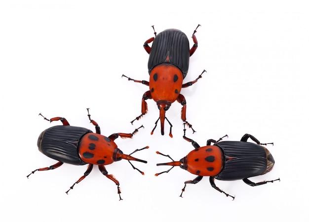 Insekt des roten rüsselkäfers auf weißem hintergrund