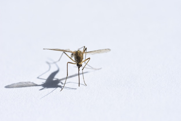 Insekt trinkt blut, mücke