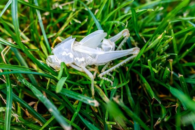 Insekten wie heuschrecken häuten sich im sommer mit einem neuen exoskelett ab.