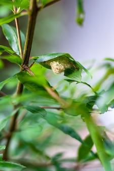 Insektenei unter dem grünen blatt hautnah im garten