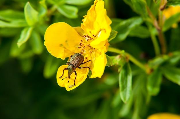 Insektenkäfer, der in der gelben blume sitzt