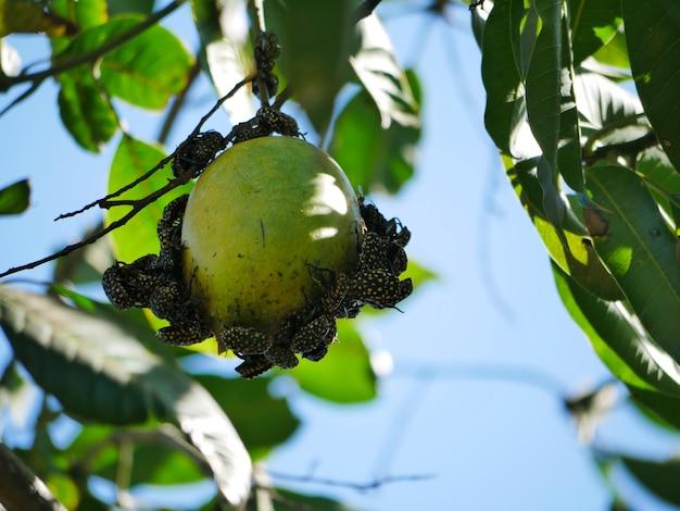 Insektenpiercing essen reife mango